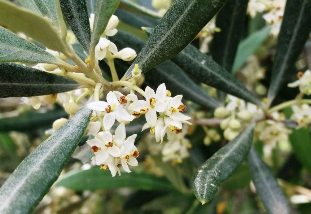 hidroxitirosol-un-tesoro-escondido-en-el-aceite-de-oliva